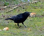 raven-with-bread