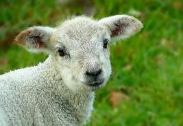 sheep-248632_1280