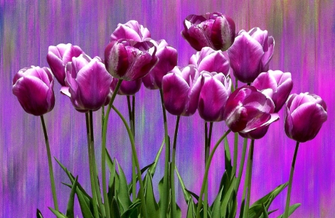 tulips-2783433_1280