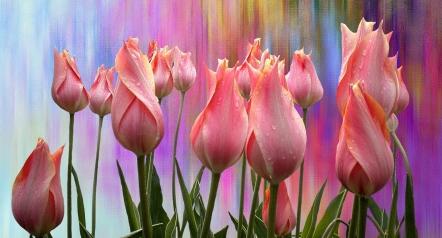 tulips-2792421_1280