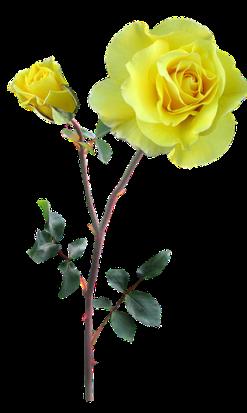 rose-2915840__480