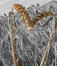 corn-19391__480.jpg